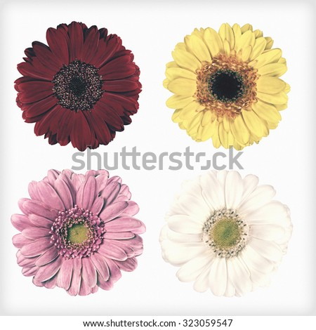 Four Fresh Red, Pink, Yellow and White Gerbera Flowers  Isolated on White Background. Flowers are in a shabby sheek vintage and retro style.