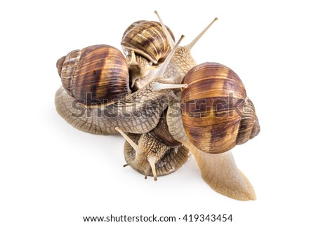 Four garden snails (Helix aspersa) isolated on white background. Mollusk. Teamwork concept
