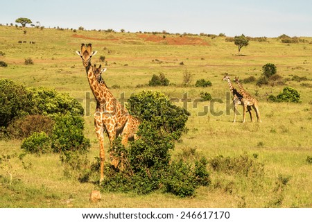 four giraffe - stock photo