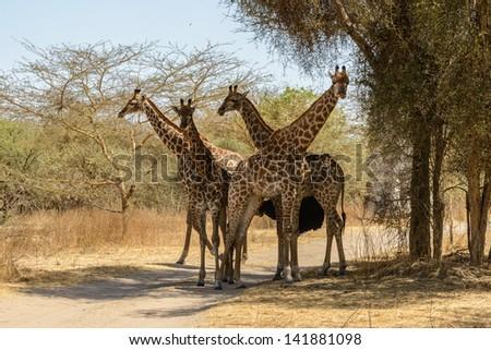 Four giraffes near the trees - stock photo