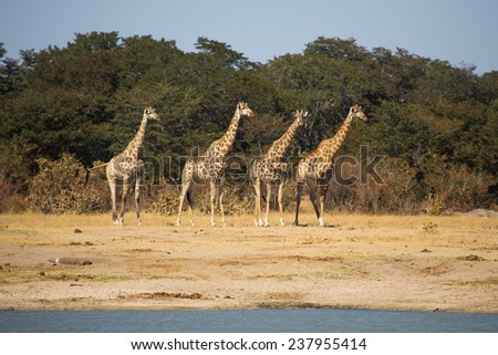 Four giraffes scanning the area before coming down to the water to drink - stock photo