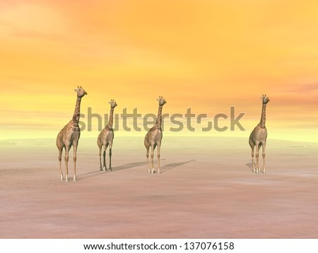 Four giraffes standing in the desert by sunset - stock photo