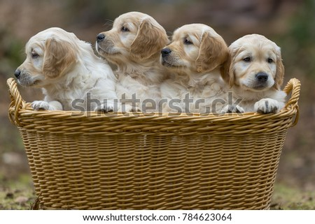 Four Golden Retriever puppies in a basket and looking to the right, outdoors.
