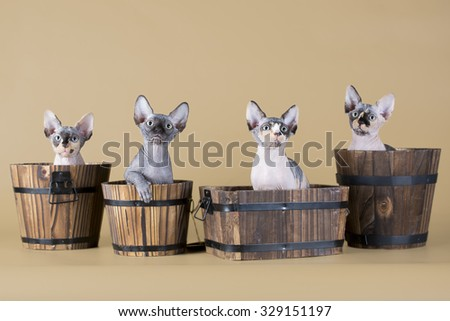 Four hairless kitten sitting in pots (isolated on beige)