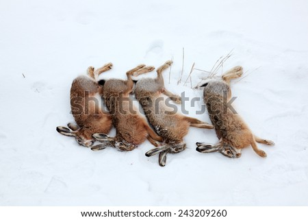 Four hares in snow, killed by hunter in winter - stock photo