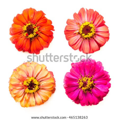 four heads of zinnia flowers on white background