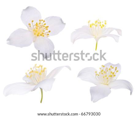 four jasmin flowers isolated on white background - stock photo