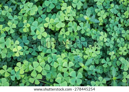 Four leaf clover  - stock photo