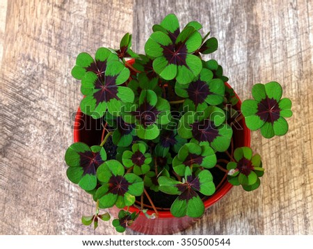 Four-leaf clover 4 - stock photo
