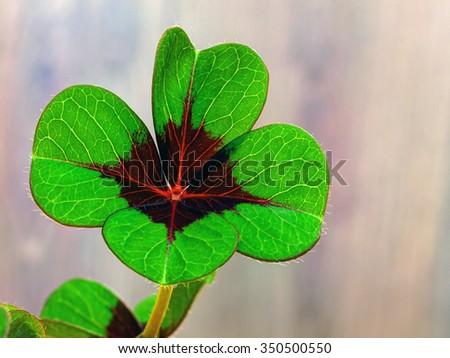 Four-leaf clover 3 - stock photo