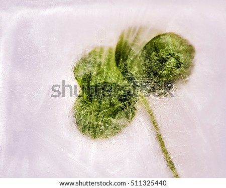 Four leaf clover frozen in winter ice.