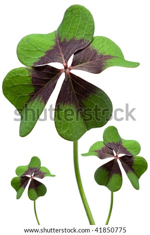 Four leaved clover, Lucky clover on white background - stock photo