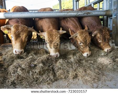 Four Limousin Bulls Feed Inside Open Barn On Organic Farm In The Netherlands Near Utrecht