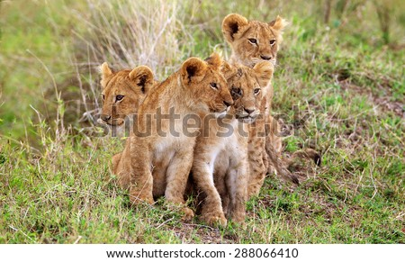 four little lion cubs - stock photo