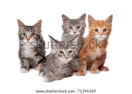 Four main coon kittens in a row isolated on a white background - stock photo