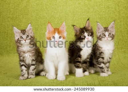 Four Maine Coon kitten on green background