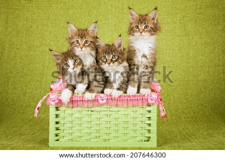 Four Maine Coon kittens sitting inside green storage basket decorate with pink Valentine heart ribbons and bows on green background  - stock photo