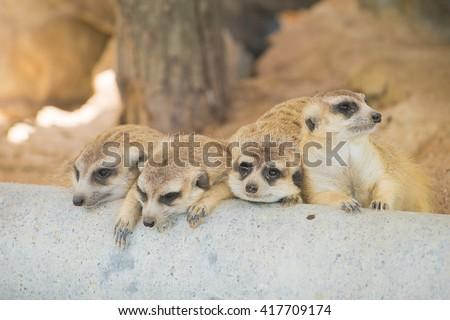Four meerkats wait for food - stock photo