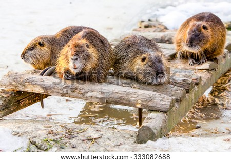 Four Members Of A Beaver Family Taking A Brake After A Good Meal - stock photo