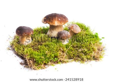 Four mushrooms Boletus edulis - porcino - growing in the moss isolated on white background - stock photo