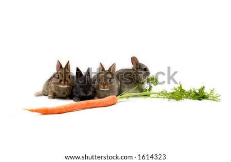 Four Netherland dwarf bunnies and a carrot, isolated on white background