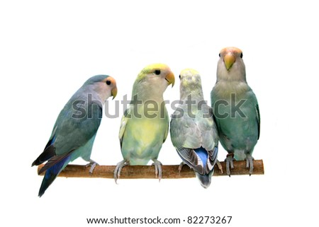 Four of Peach-faced Lovebirds (Agapornis roseicollis motley clarified blue and blue morphs) on the white background - stock photo