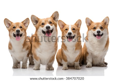 Four pembroke welsh corgi dogs posing on white background all smiling - stock photo