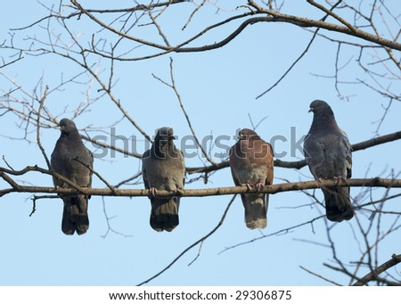 Four pigeon sitting on a branch - stock photo