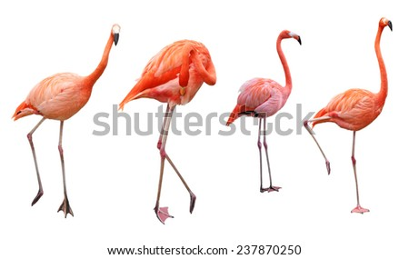 Four pink flamingo birds isolated on white - stock photo