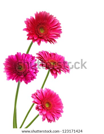 four pink Gerber flowers  isolated on white - stock photo