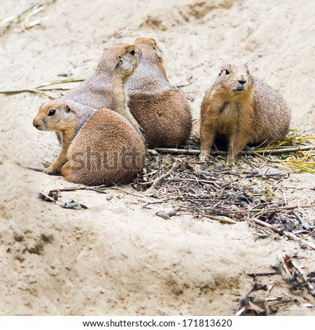 Four prairie dogs sitting together and watching - square - stock photo