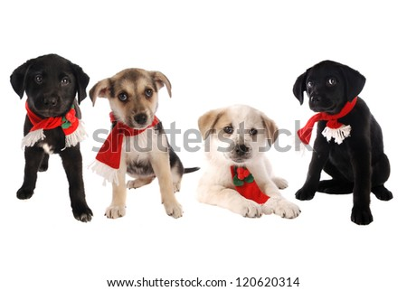 Four puppies in Holiday scarves on white, Christmas theme. - stock photo