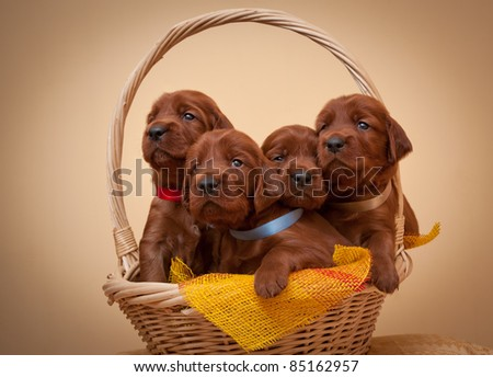 Four puppies of setter sit in basket, studio,horizontal - stock photo