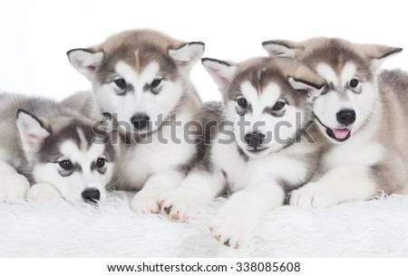 Four puppy Husky.  - stock photo