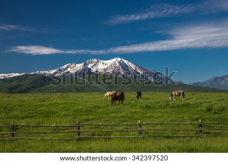 Four Quarter Horses Grazing in a High Mountain Meadow With Snow Covered Mt. Sopris and the Rocky Mountains - stock photo
