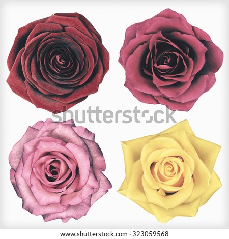 Four Rose Flowers Isolated on White Background. Flowers are in a shabby sheek vintage and retro style. - stock photo