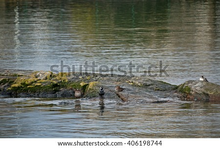 Four sea ducks on a rocky protrusion in shallow ocean water. / Four Sea Ducks on Rock