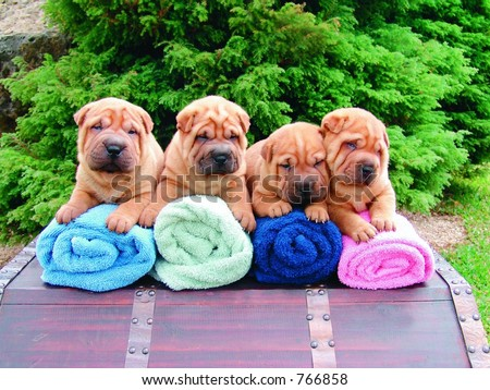 Four sharpei puppies - stock photo