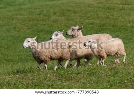 Four Sheep (Ovis aries) Run By - at sheep dog herding trials