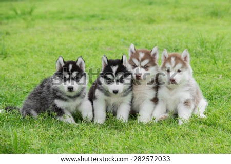 Four Siberian husky puppies sitting on green grass