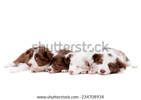 four sleeping border collie puppies in a row in front of a white background - stock photo