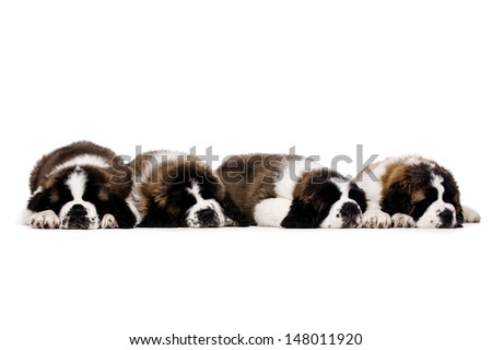 Four sleeping St Bernard puppies together isolated on a white background - stock photo
