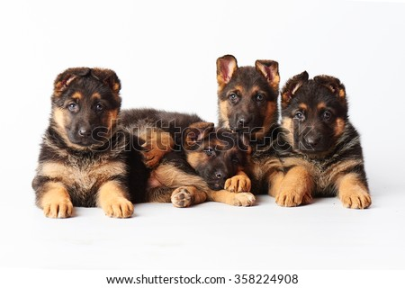 four small cute german shepherd puppies laying on white background and looking straight into the camera. - stock photo