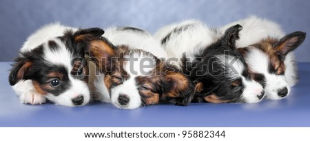 Four small sleeping Papillon Puppies on a blue background - stock photo