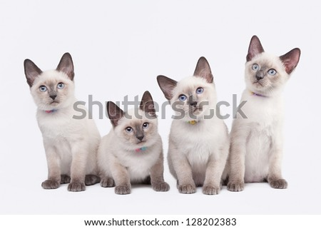 four small thai kittens on white background
