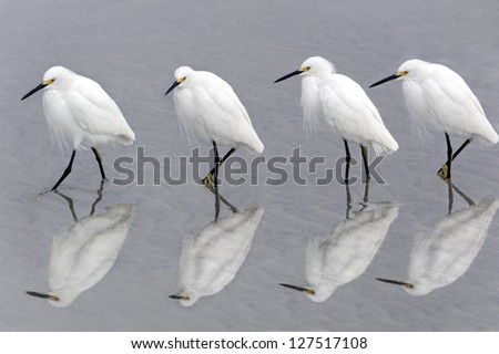 Four snowy egrets walking together on the beach in early morning light. - stock photo