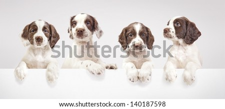 Four spaniel puppies on a grey background - stock photo