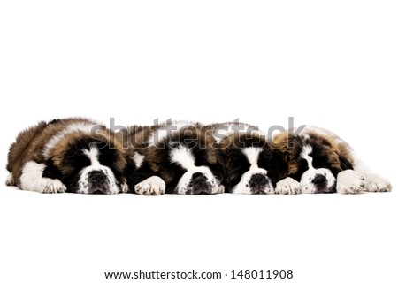 Four St Bernard puppies laid sleeping together isolated on a white background - stock photo