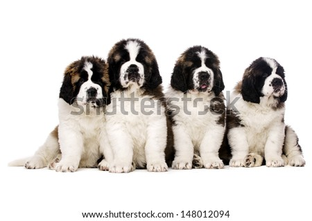 Four St Bernard puppies together isolated on a white background - stock photo
