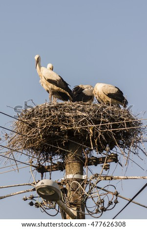 Four storks in a nest on a pole electric.